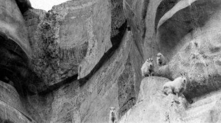 Close-up of Mountain Goats on Mount Rushmore