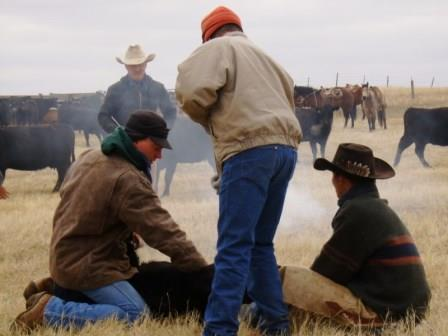 Wrestling a calf at branding